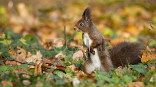 Cute red squirrel, sciurus vulgaris, standing on the colorful foliage