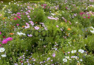 Blühende Blumenwiese, August