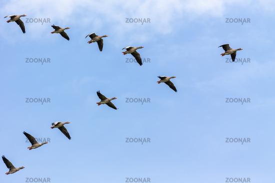 Greylag Geese (Anser anser)