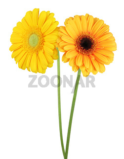 Two wonderful Gerberas (Daisies) isolated on white background, including clipping path. Germany