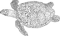 Sketch beautiful sea turtle on a white background