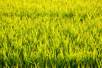 golden ripe rice farm