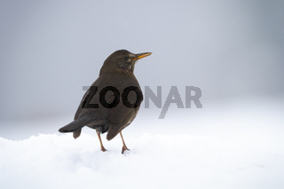 Common blackbird sitting on snow in winter from rear view.