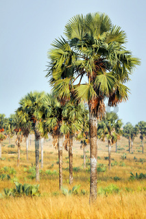 Palmenlandschaft im Murchison Falls Nationalpark Uganda | Landscape with palms at Murchison Falls National Park Uganda
