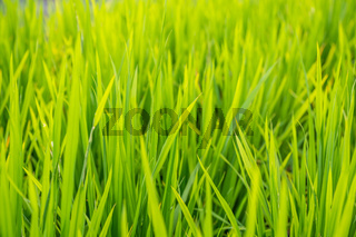 Close up of a growing rice