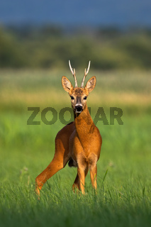 Alert roe deer buck standing on green meadow and looking into camera in summer