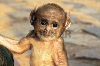 Langur Baby