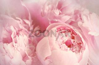 Closeup of peony flowers