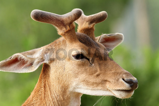 fallow deer stag ( Dama dama )  with growing antlers