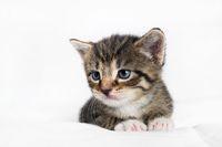 Tabby kitten lies