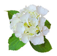 Beautiful Hydrangea (Hortensia, Hortensie) isolated on white background, including clipping path.
