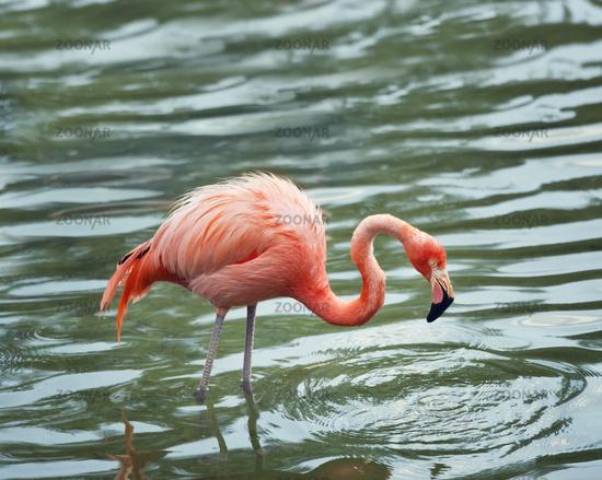 pink flamingo walking in the water