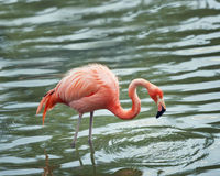 pink flamingo walking in the water
