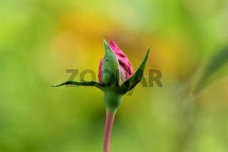 Pink rosebud against blurred yellow green background