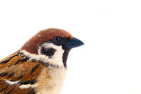 sparrows in dynamics isolated