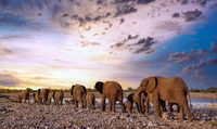 elephants at a waterhole, Etosha National Park, Namibia, (Loxodonta africana)