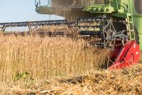 Grain harvest with a combine - close-up