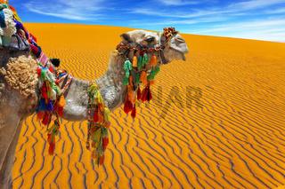 Well-groomed, sleek camel