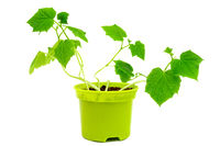 Green sprouts in pot. Young shoots of cucumbers. Growing vegetables at home.
