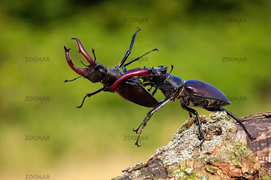Dominant stag beetle holding defeated one in mandibles during a fight