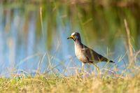 African wattled lapwing, Namibia safari, Africa wildlife