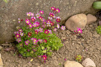 Moss saxifrage with pink flowers in a flower bed in front of a sandstone