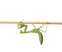 green young mantis sitting on a wooden stick, insect isolated on white background