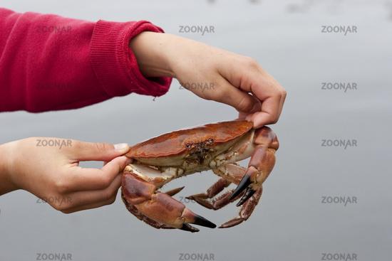 European edible crab