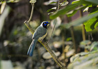 Green jay (Cyanocorax yncas) sitting on a branch