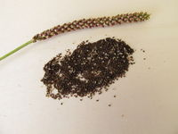 Edible seeds of greater plantain, plantago major