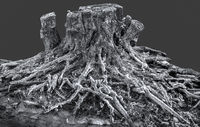 Iced tree root