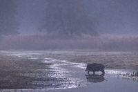 Wild Boar crossing a pond