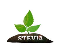 Stevia plant in the ground. Vector illustration