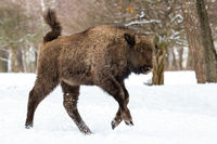 Young european bison running on snow in winter forest