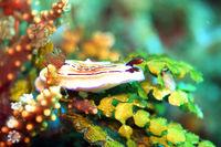 Prachtsternschnecke Hypselodoris emma
