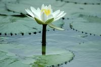 Water Lilly 6.jpg