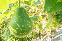 green bottle gourd
