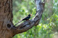 Green Wood hoopoe, Namibia Africa wildlife