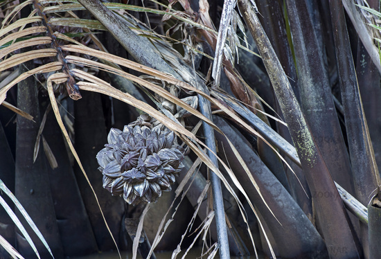 Fruit cluster of Nipa palm (Nypa fruticans)