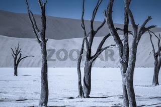 Tote Akazienbaeume in der Namib Wueste