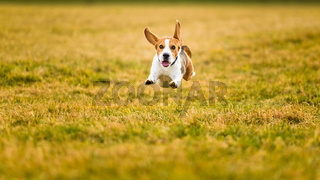 Dog Beagle running fast and jumping with tongue out through green grass field in a spring
