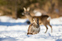 Calm common buzzard sitting in the snow with roe deer in background