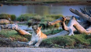 Löwin am Wasserloch, Etosha-Nationalpark, Namibia, (Panthera leo) | lioness at a waterhole, Etosha National Park, Namibia, (Panthera leo)