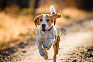 Dog Beagle running fast and jumping with tongue out on the rural path