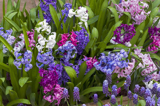 Beautiful multicolored  hyacinths