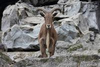 Barbary sheep  (Ammotragus lervia)