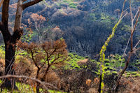 Trees sprouting new leaves after bush fires