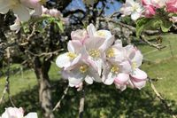 Flowers of an apple tree
