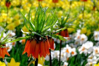 Kaiserkronen (Fritillaria imperialis)