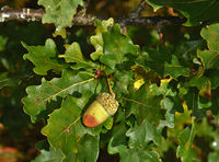acorn of common oak, pedunculate oak, English oak,